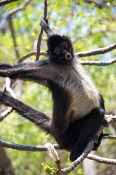 Spider monkeys lined the trees in Canon del Sumidero.